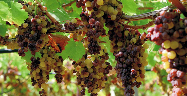 September_30_The_grape_sun-wilting_on_the_plant